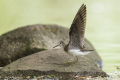 Solitary sandpiper Royalty Free Stock Images