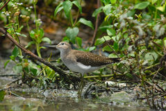 Solitary Sandpiper Stock Photo