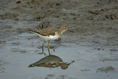 Solitary sandpiper, Tringa solitaria Royalty Free Stock Photography