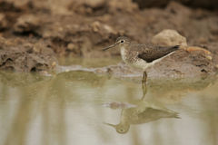 Solitary sandpiper, Tringa solitaria Stock Photography