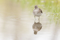 Solitary sandpiper Royalty Free Stock Photography