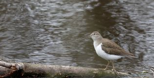 Solitary sandpiper Tringa solitaria by the water edge. Wild nature of Ukraine. Free nature. Bird in the water. A beautiful picture of bird life. Wild Animals Royalty Free Stock Photos