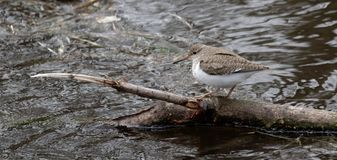 Solitary sandpiper Tringa solitaria by the water edge. Wild nature of Ukraine. Free nature. Bird in the water. A beautiful picture of bird life. Wild Animals Stock Photography