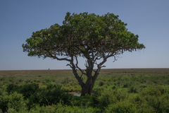 Solitary sausage tree. Kigelia, commonly known as sausage or cucumber tree in the Serengeti National Park, Tanzania Stock Image
