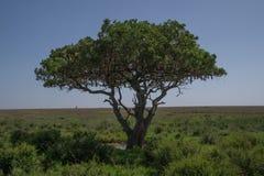 Solitary sausage tree Stock Image