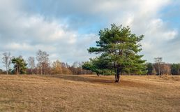 Solitary scots pine in the foreground of a large field with drie royalty free stock image