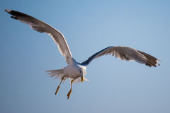 A solitary seagull flies against a brilliant blue sky. A solitary seagull in flight is framed by the brilliant blue sky behind it royalty free stock image