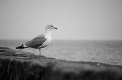 Solitary Seagull (Herring Gull) Standing on a Stone Harbour Wall Looking Out to the Ocean in Black and White Royalty Free Stock Photography