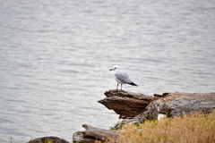 The lone ranger. A solitary seagull on a tree trunk by waters edge Royalty Free Stock Photo