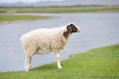 Solitary sheep Royalty Free Stock Photo
