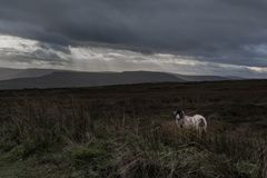 A solitary sheep on a bleak moor stock image