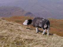 Solitary sheep foraging on hillside Royalty Free Stock Photography