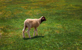 Solitary sheep gazing into empty landscape. stock image