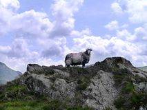 Solitary sheep posing on rock Stock Image
