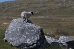 A solitary sheep standing on a boulder Royalty Free Stock Photography