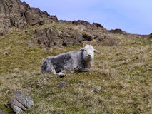 Solitary sheep watching from hillside Royalty Free Stock Image