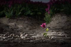 Solitary single flowering tulip in a large bulb field. In late April through early May, the tulip fields in the Netherlands colourfully burst into full bloom stock image