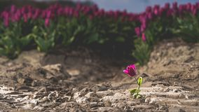 Solitary single flowering tulip in a large bulb field. In late April through early May, the tulip fields in the Netherlands colourfully burst into full bloom stock photography