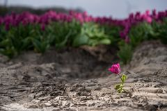 Solitary single flowering tulip in a large bulb field. In late April through early May, the tulip fields in the Netherlands colourfully burst into full bloom stock photos
