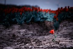 Solitary single flowering tulip in a large bulb field royalty free stock photo