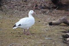 Solitary Snow Goose Royalty Free Stock Photos