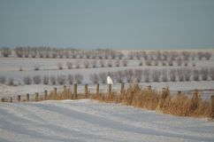 Solitary snowy Owl watching from a fence post in the distance Stock Images