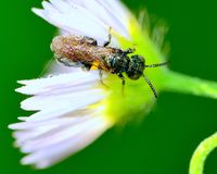 Solitary Sphecid Wasp Stock Images