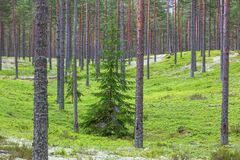 Solitary spruce tree in pine tree forest Royalty Free Stock Photos