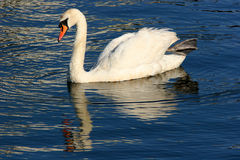 Solitary Swan Stock Photography