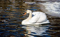 A solitary swan floats on dark water, free of ice, on a clear wi royalty free stock image