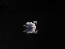 Solitary Swan Royalty Free Stock Images