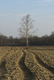 Solitary sycamore tree Stock Photos