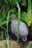 Solitary tinamou, bird endemic of the South America Royalty Free Stock Photo