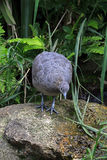 Solitary tinamou, bird endemic of the South America. ITATIBA, SP, BRAZIL - OCTOBER 31, 2015 - Solitary tinamou, Tinamus solitarius, bird of the Tinamidae family stock photography