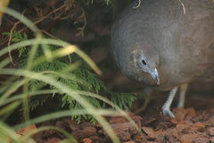 Solitary tinamou. On the soil Royalty Free Stock Image