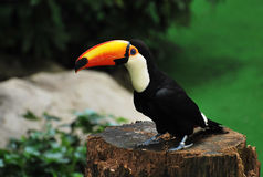 Solitary Toucan. A photo taken on a toucan at a bird park Royalty Free Stock Photo
