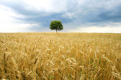 Solitary tree. On the field royalty free stock photography