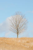 Solitary Tree. A solitary tree on a hill in the winter with a blue sky in the background Royalty Free Stock Photo