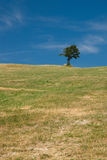 Solitary tree. A solitary tree on the top of the hill with blue sky Royalty Free Stock Image