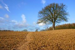 Solitary Tree. A solitary tree in a farmers ploughed field in winter Stock Photography