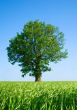 Solitary tree. Royalty Free Stock Images