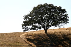 Solitary Tree Stock Photography