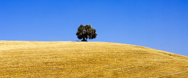 Solitary Tree. Typical view of Tuscan hill, with a solitary tree, near Siena Royalty Free Stock Photo