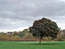 Solitary Tree. On a golf course with a house in the background Stock Photography