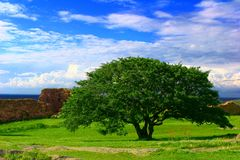 Solitary tree. Landscape with solitary tree on green grassland and with view of sea in background Stock Photos