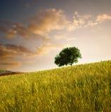 Solitary tree Stock Image