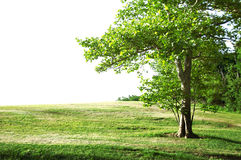 Solitary Tree. Summer landscape - solitary tree with white copy space royalty free stock images
