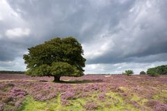 A solitary tree in the blooming heather in National Park The Hoge Veluwe. Stock Images
