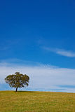 Solitary tree on blue sky Stock Photography