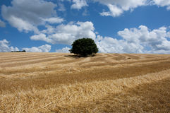 Solitary tree in the corn field Royalty Free Stock Photo